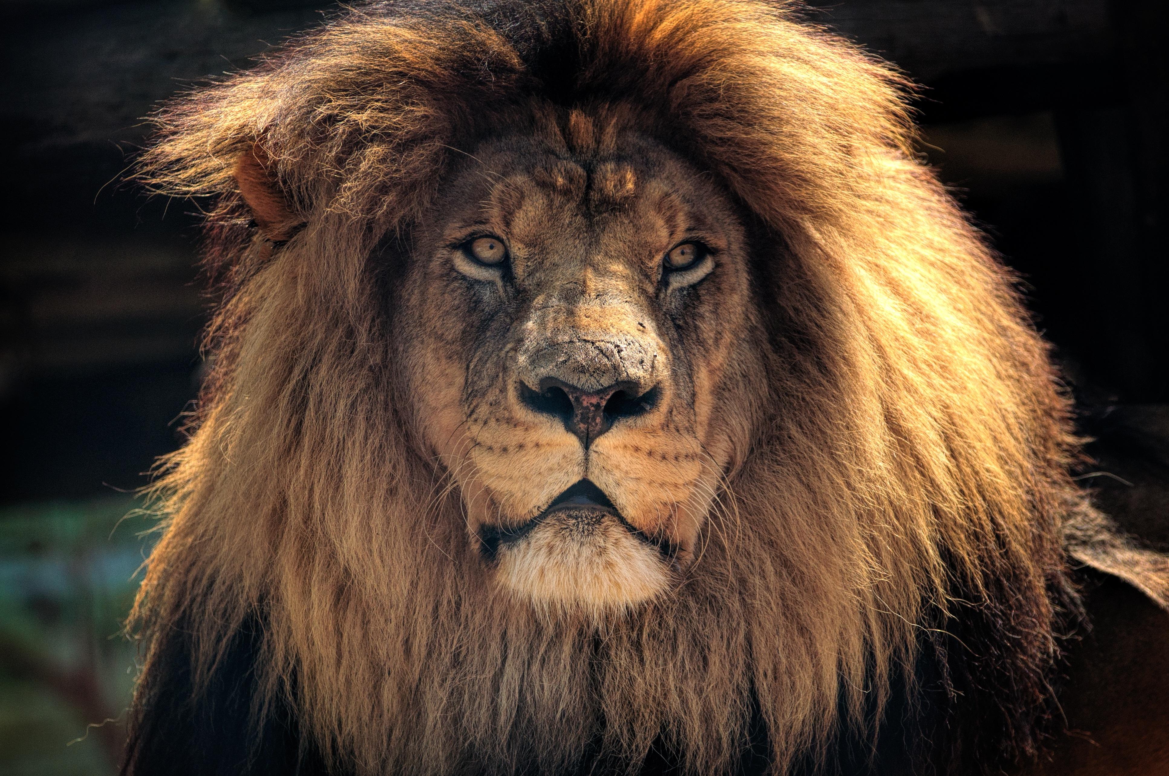 4k lion hd hd animals 4k wallpapers images backgrounds - Lion 4k wallpaper for mobile ...