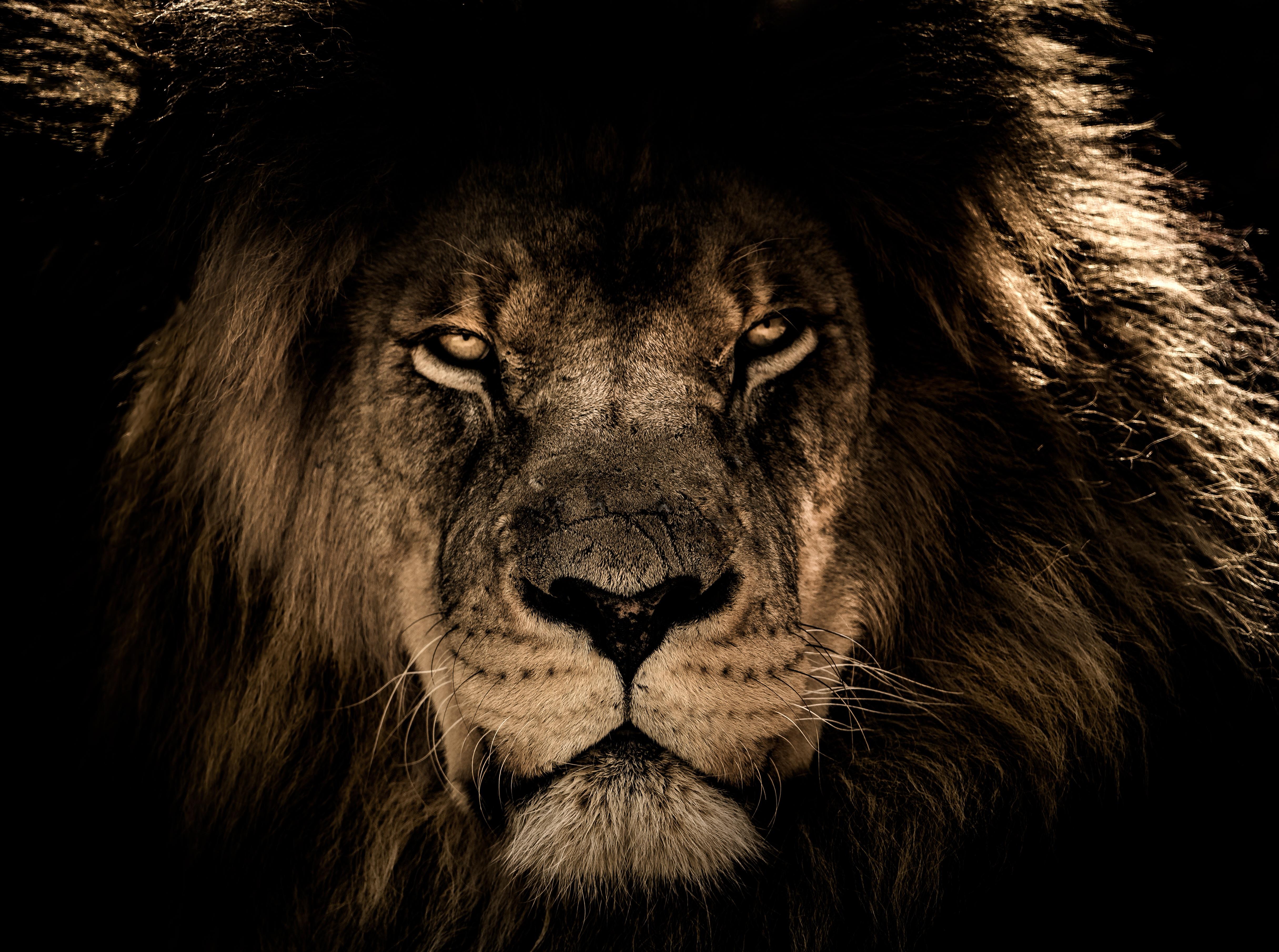 African lion face closeup 5k hd animals 4k wallpapers - Lion 4k wallpaper for mobile ...