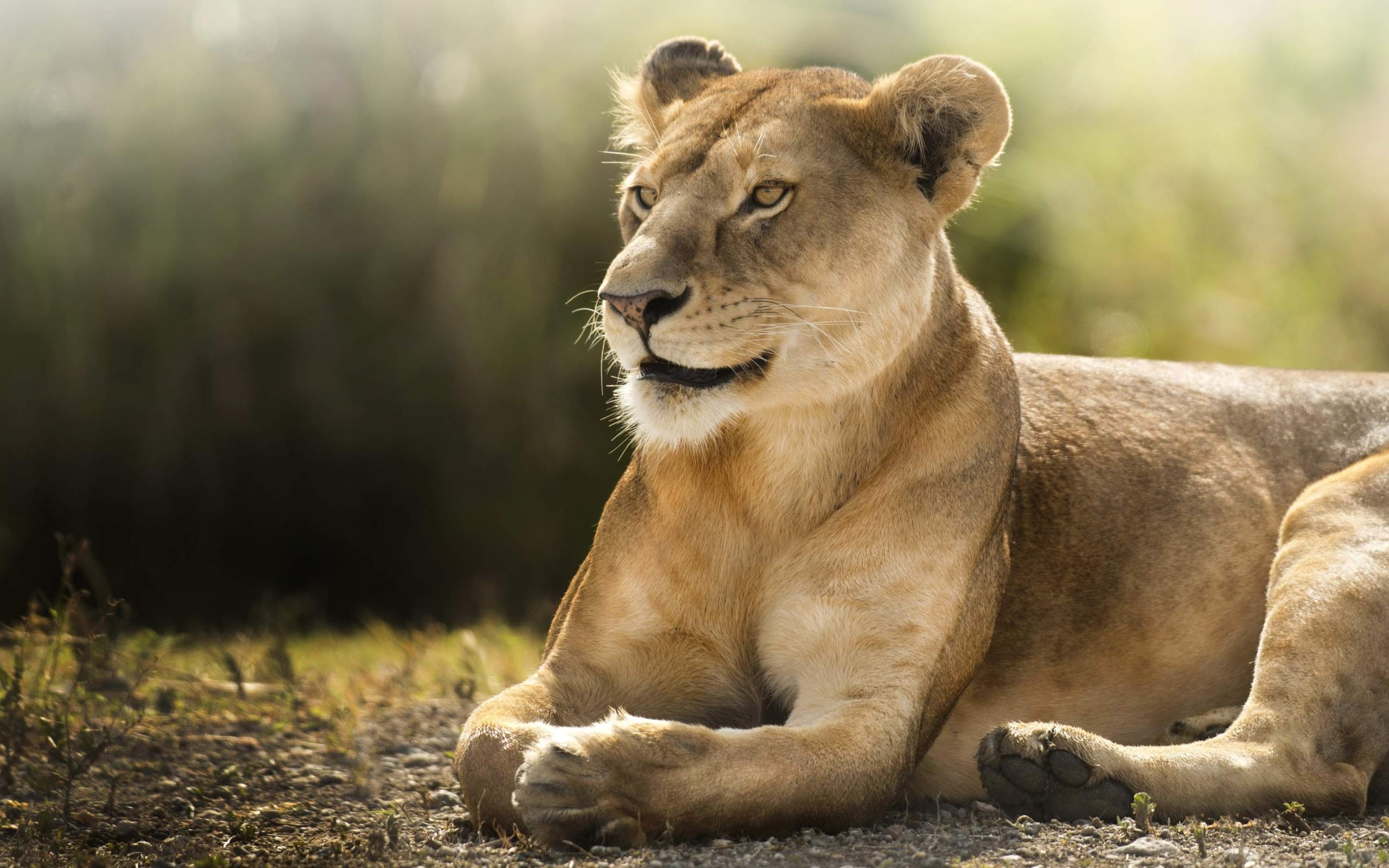 african lion hd, hd animals, 4k wallpapers, images, backgrounds