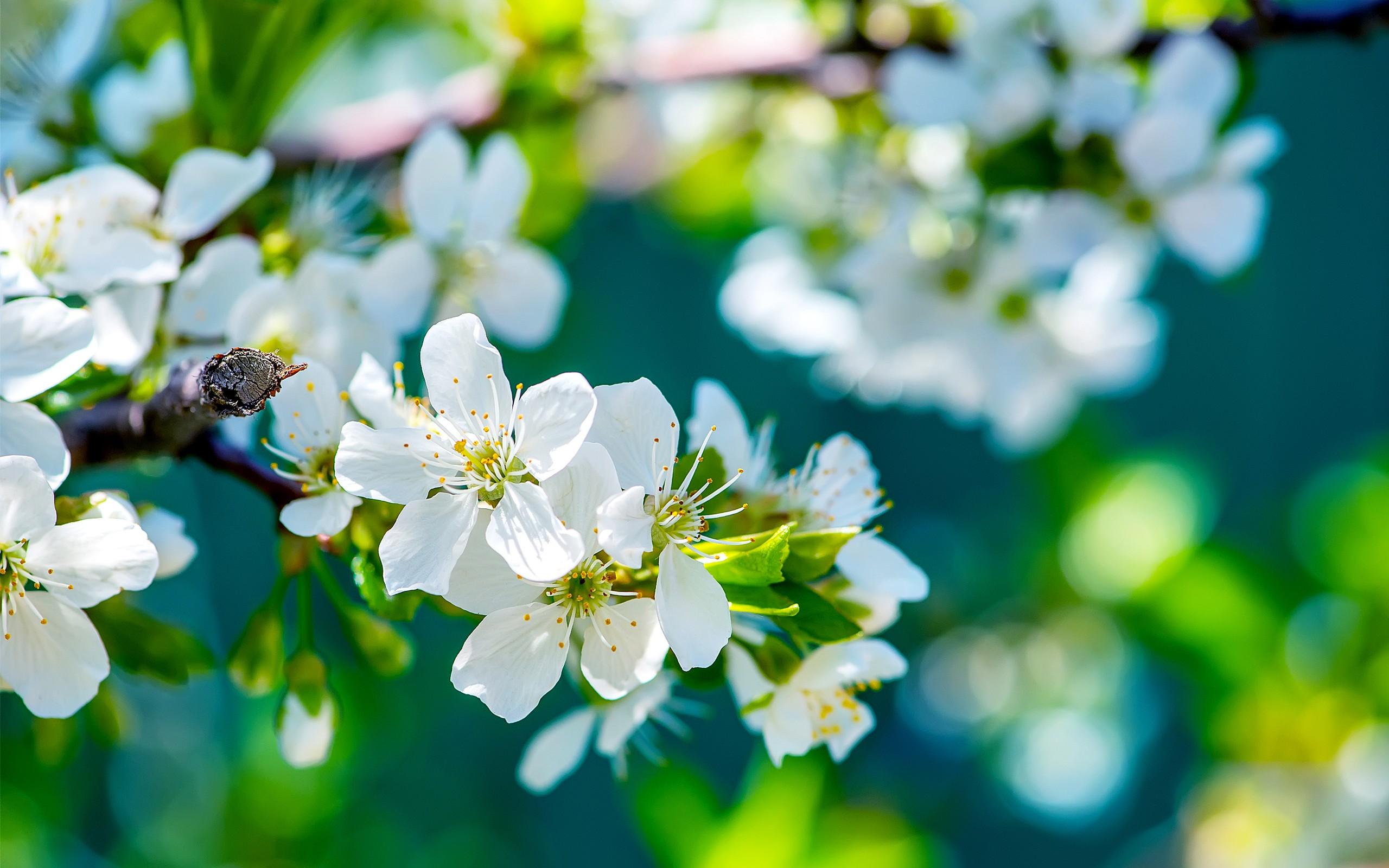 Apple Flowers, HD Flowers, 4k Wallpapers, Images