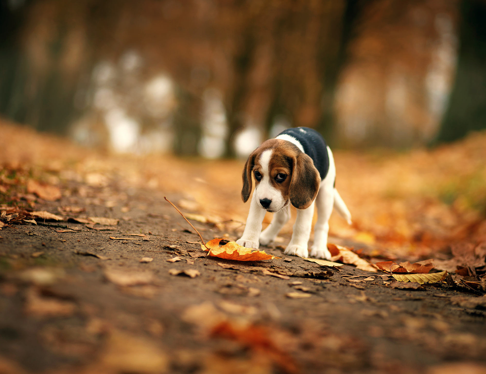 Beagle hd animals 4k wallpapers images backgrounds photos and beagle voltagebd Images
