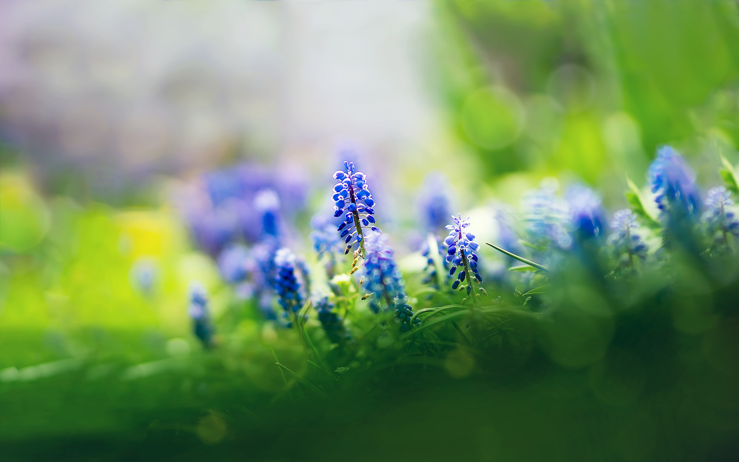 Beautiful Muscari Flowers