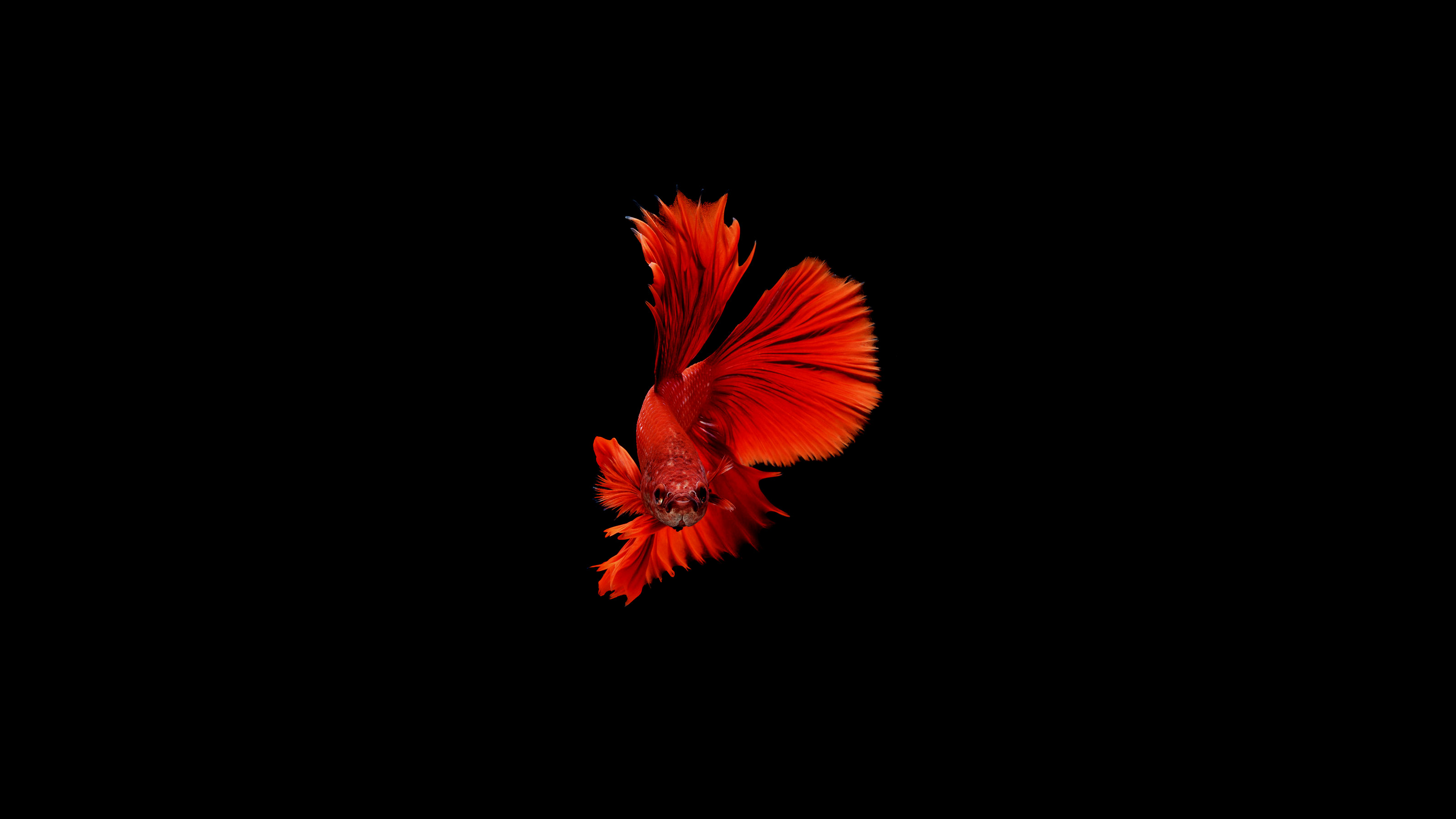 1920x1080 betta fish laptop full hd 1080p hd 4k wallpapers, imagespublished on may 29, 2017 original resolution