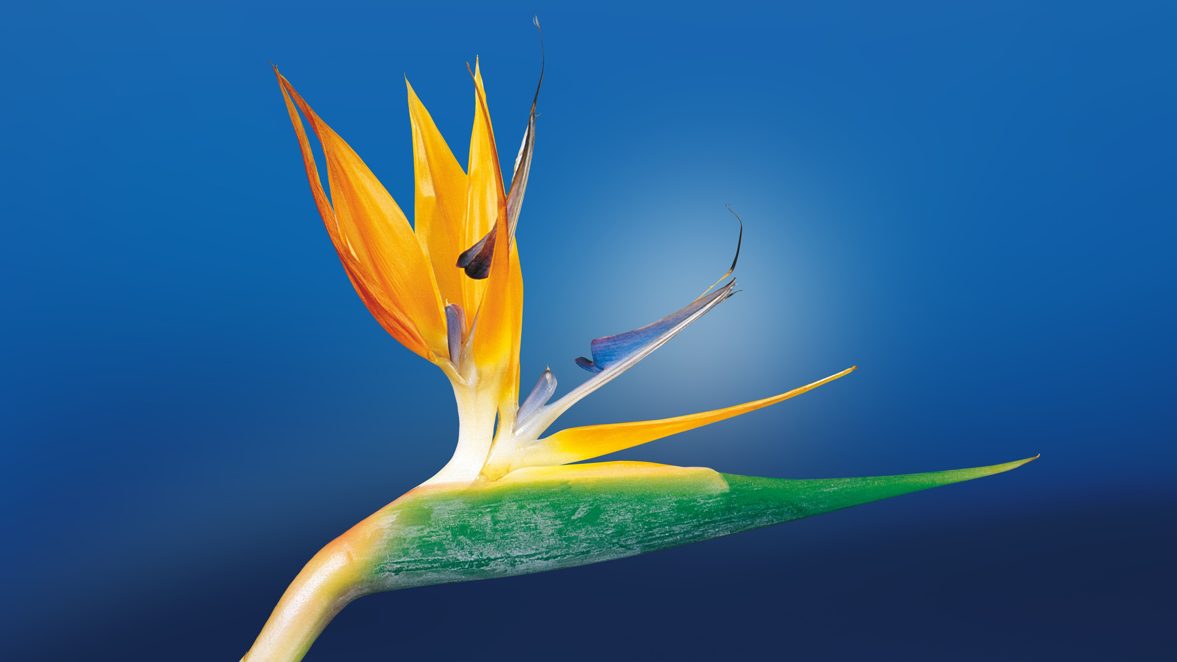 Bird of paradise hd flowers 4k wallpapers images backgrounds photos and pictures - Hd images of birds of paradise ...