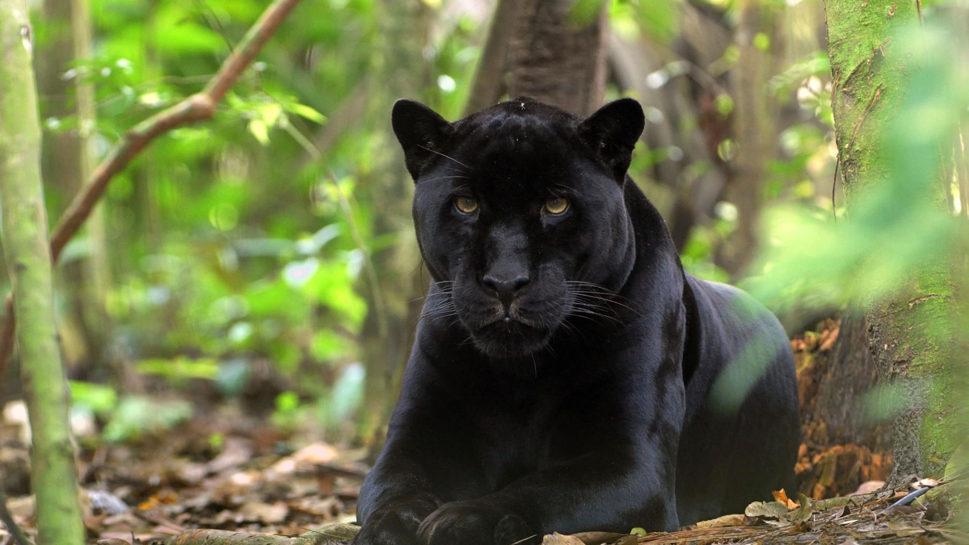 Black Panther Animal Wallpaper Download Belgium Hotels 5 Star