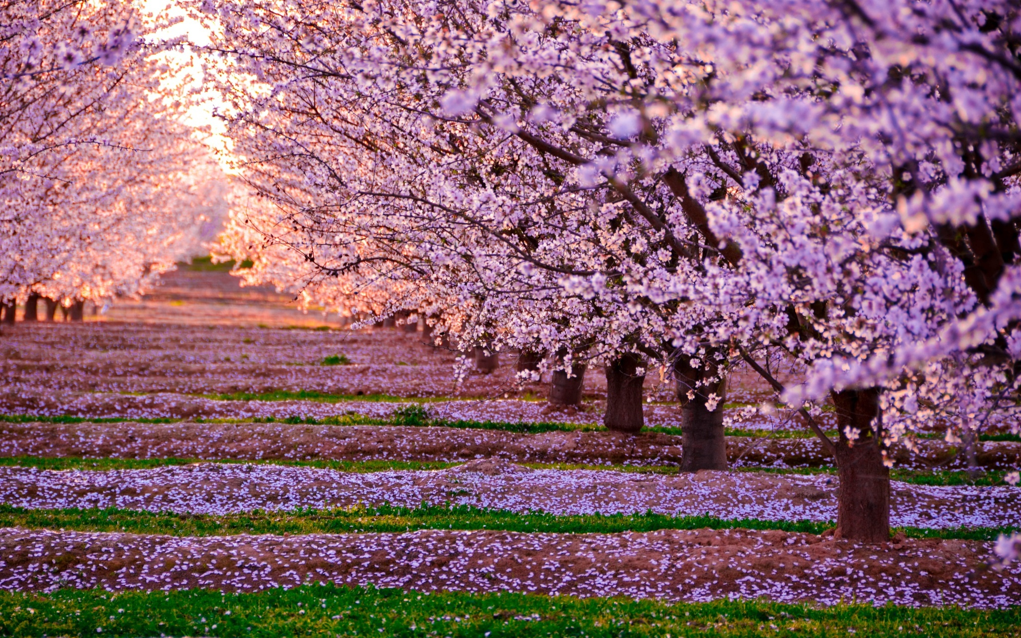 Blossom nature pink flowers trees hd nature 4k wallpapers images blossom nature pink flowers trees mightylinksfo