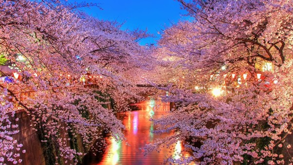 cherry-blossom-trees-wide.jpg