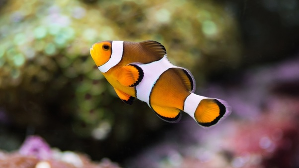 clownfish-wide.jpg