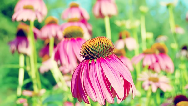 coneflower-purple.jpg
