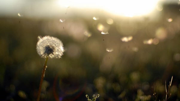 dandelion-flower-wide.jpg