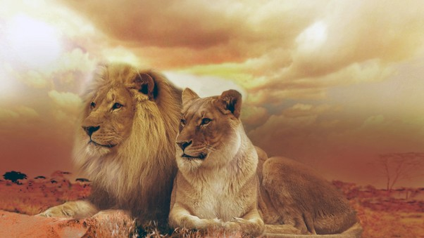 female-male-lions.jpg