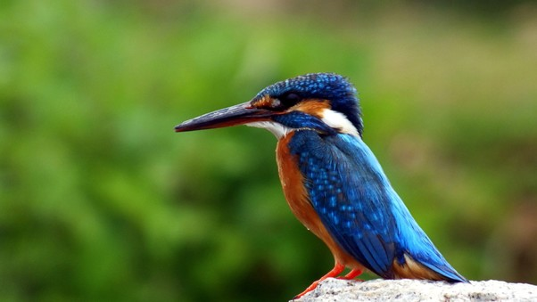kingfisher-bird.jpg