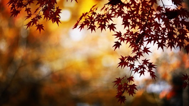 maple-leaves-pic.jpg