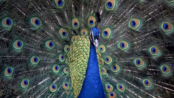 peacocks-hd.jpg