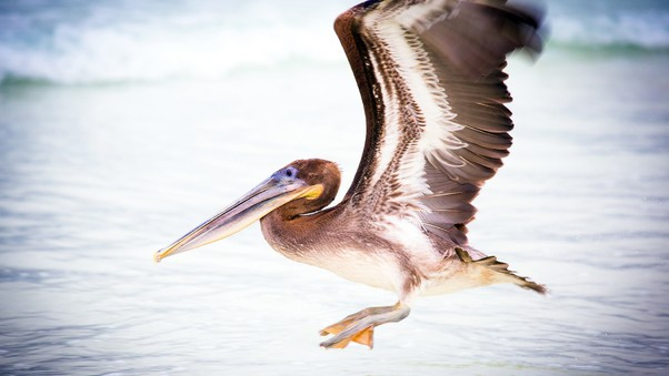 pelican-water-bird.jpg