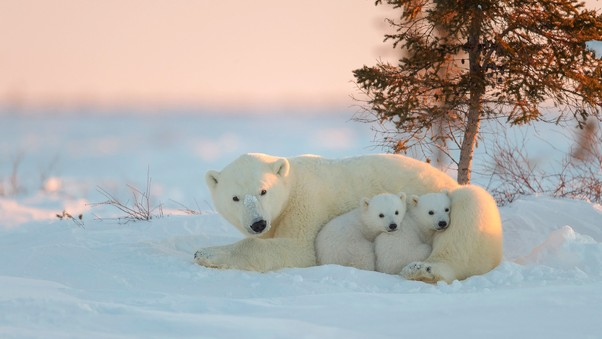 polar-bear-with-baby-wide.jpg