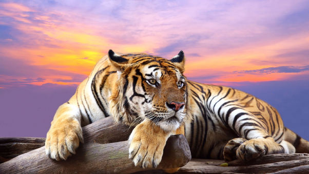 predator-tiger-sunset-do.jpg
