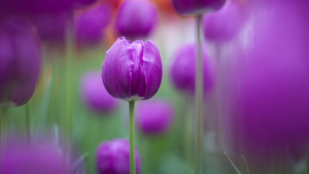 purple-colour-tulips.jpg