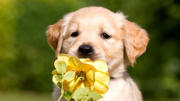 Retriever Puppy Petals