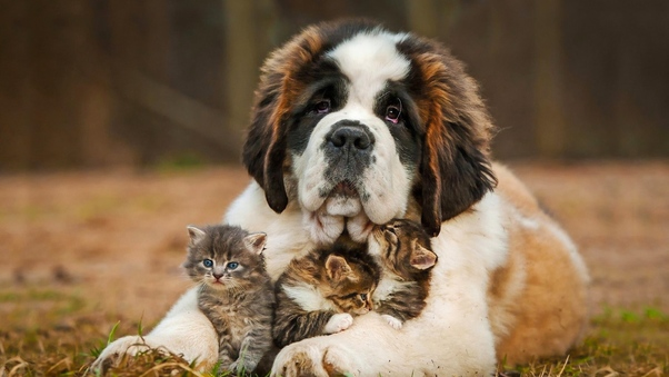 saint-bernad-playing-with-kittens.jpg