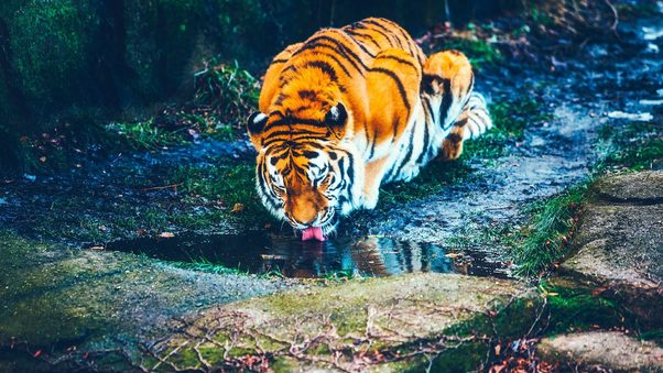 tiger-drinking-water-hd-ad.jpg