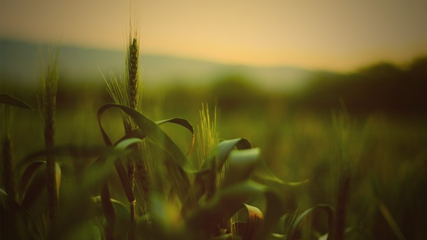 wheat-spikelets-pic.jpg