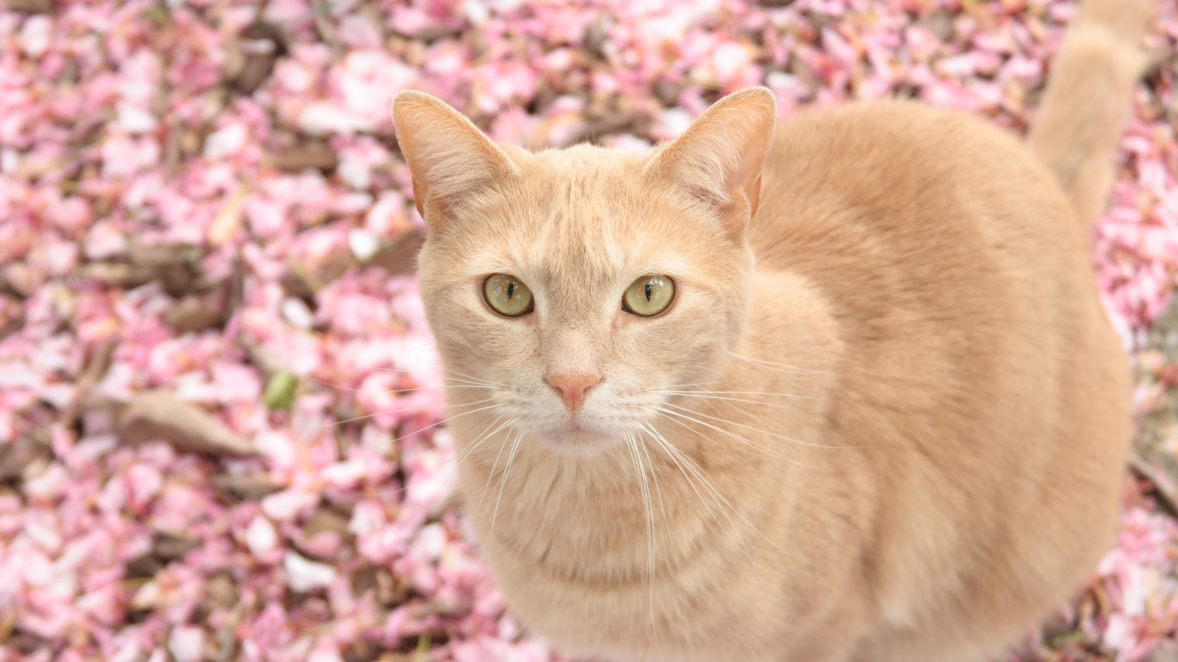 Cat On Pink Flowers