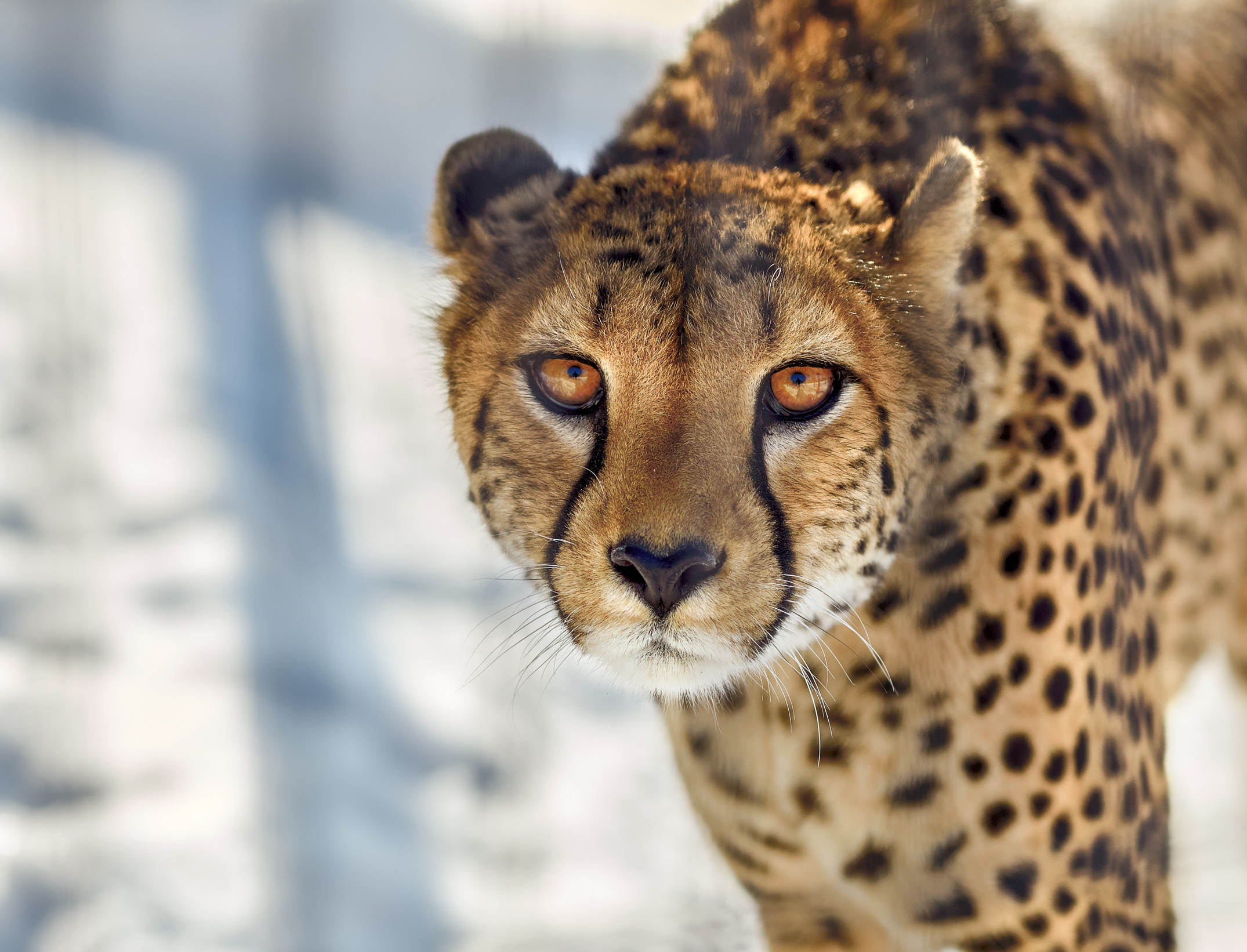 cheetah close up, hd animals, 4k wallpapers, images, backgrounds