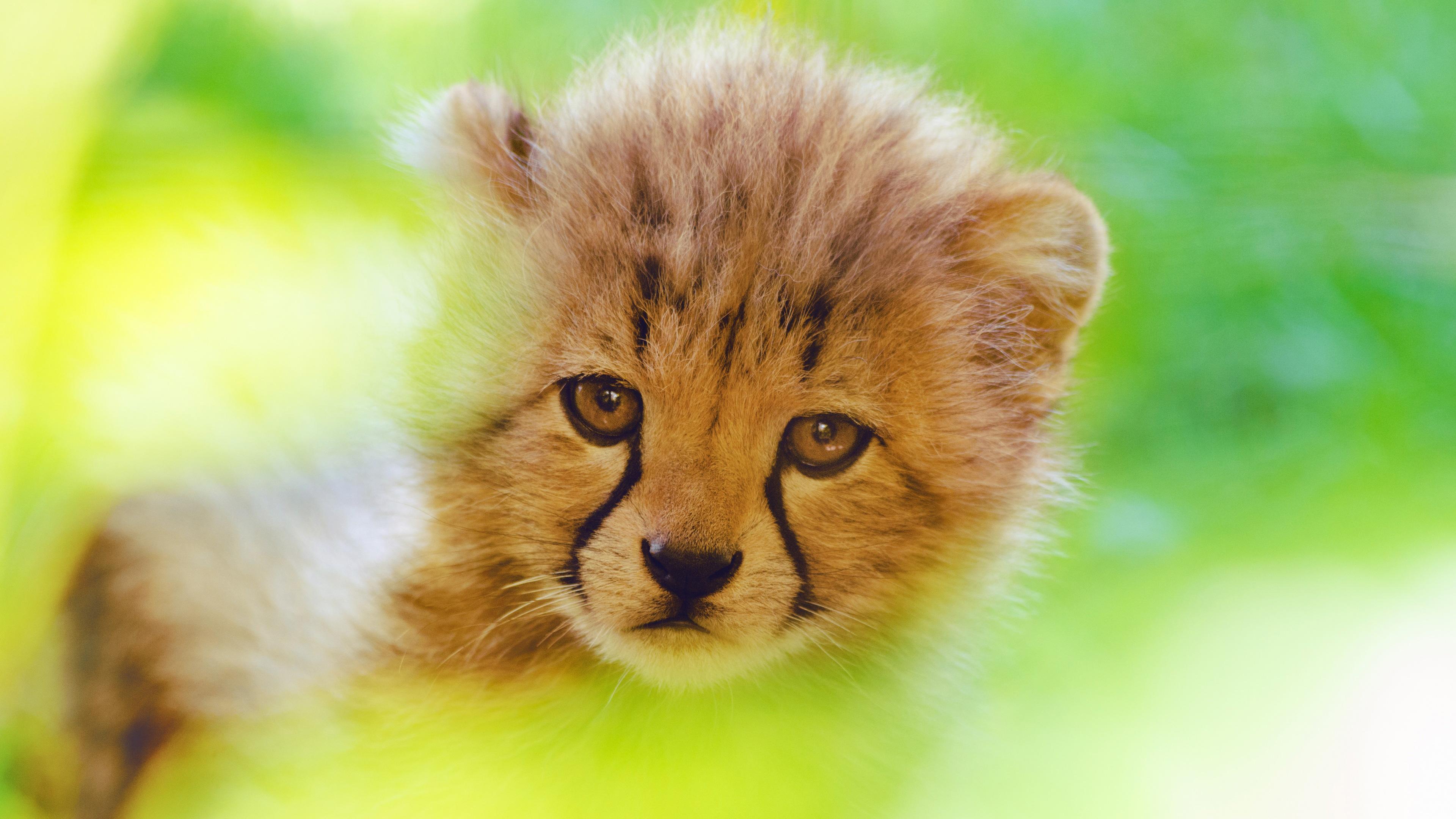 Cheetah Cute Cub 4k, HD Animals, 4k Wallpapers, Images ...