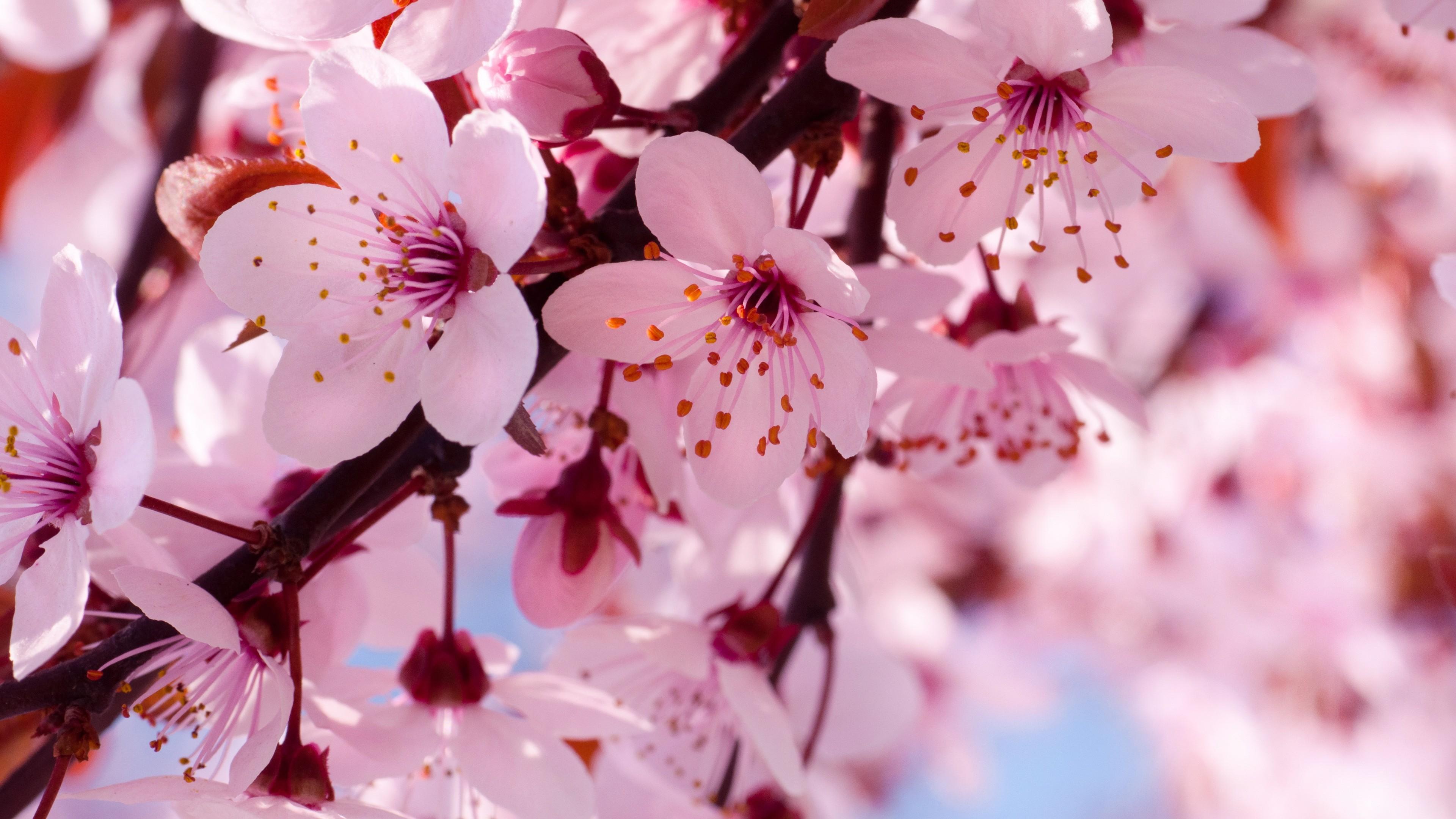 Вишневые цветы фото 4