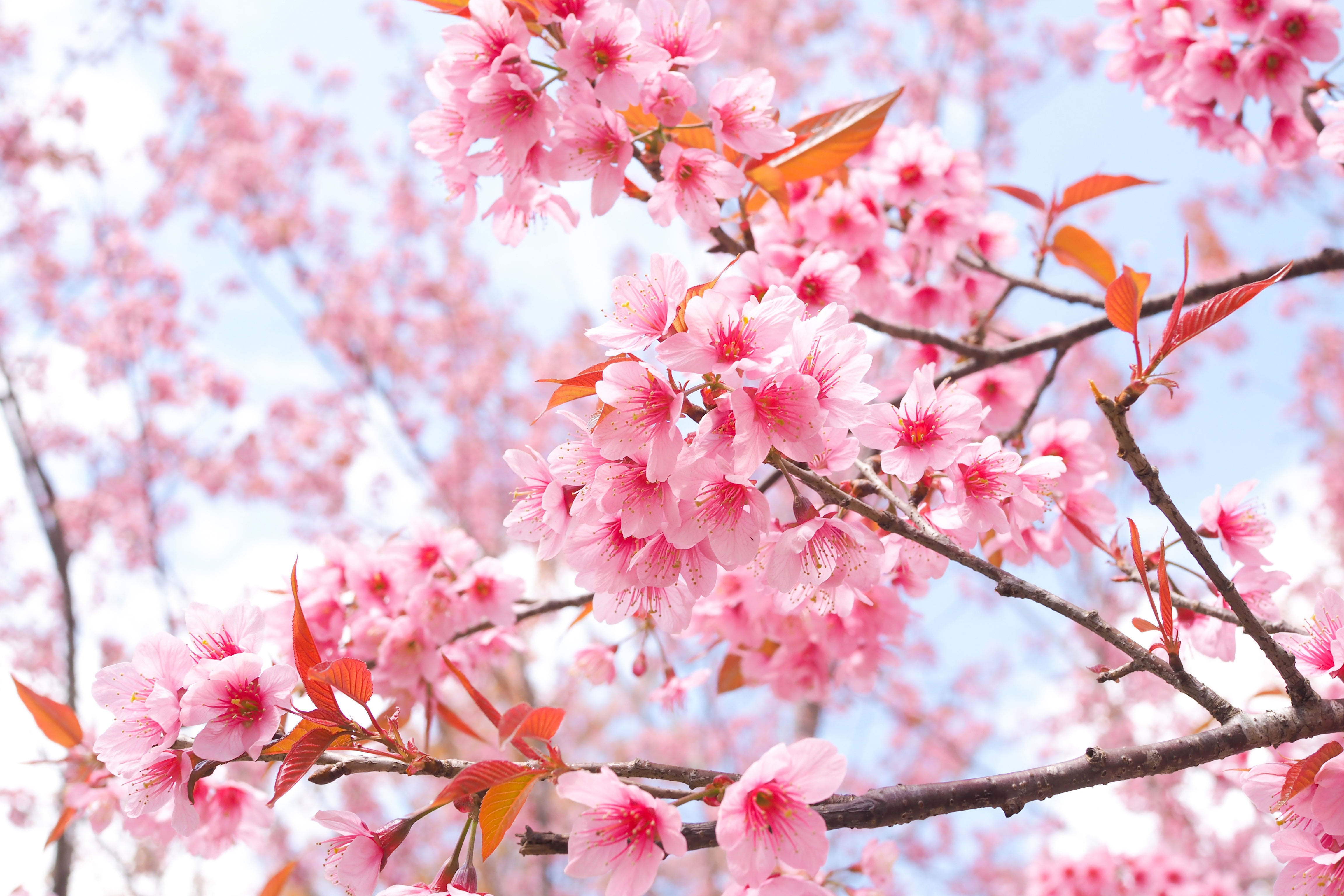 Cherry Blossom Tree Branches 4k, HD Flowers, 4k Wallpapers ...