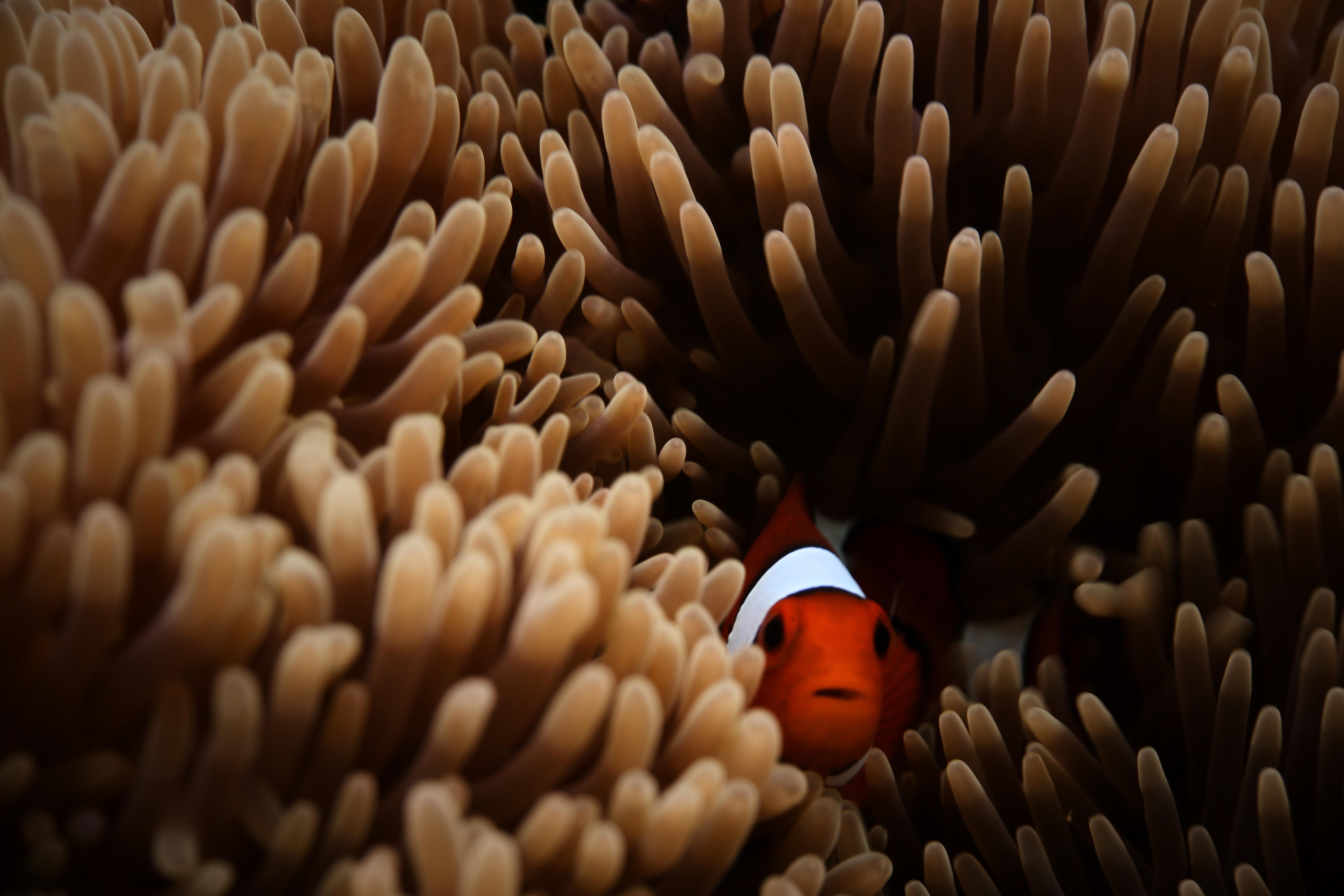1600x1200 Clownfish Sea 5k 1600x1200 Resolution Hd 4k