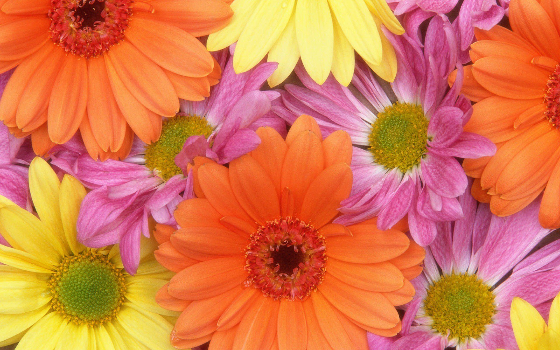 colorful daisies, hd flowers, 4k wallpapers, images, backgrounds