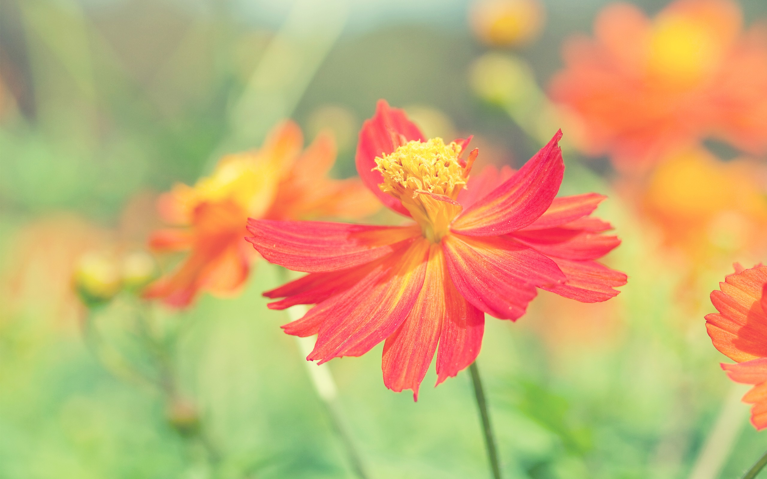cosmos autumn flowers, hd flowers, 4k wallpapers, images