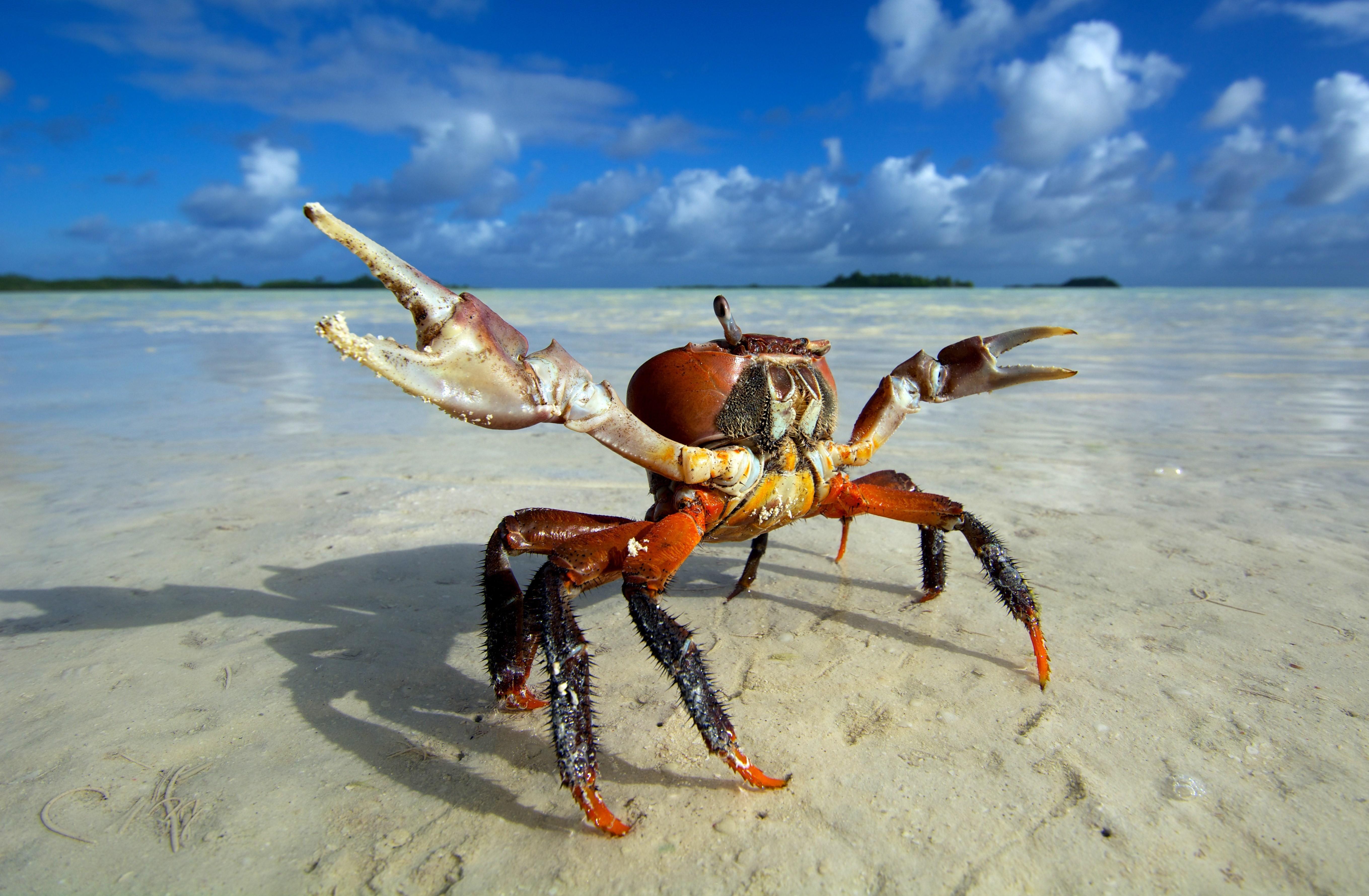 Crab Hd Animals 4k Wallpapers Images Backgrounds HD Wallpapers Download Free Images Wallpaper [1000image.com]