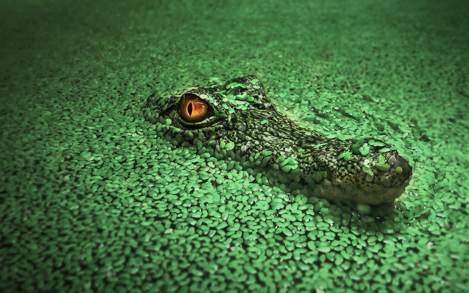 Crocodile, HD Animals, 4k Wallpapers, Images, Backgrounds ...