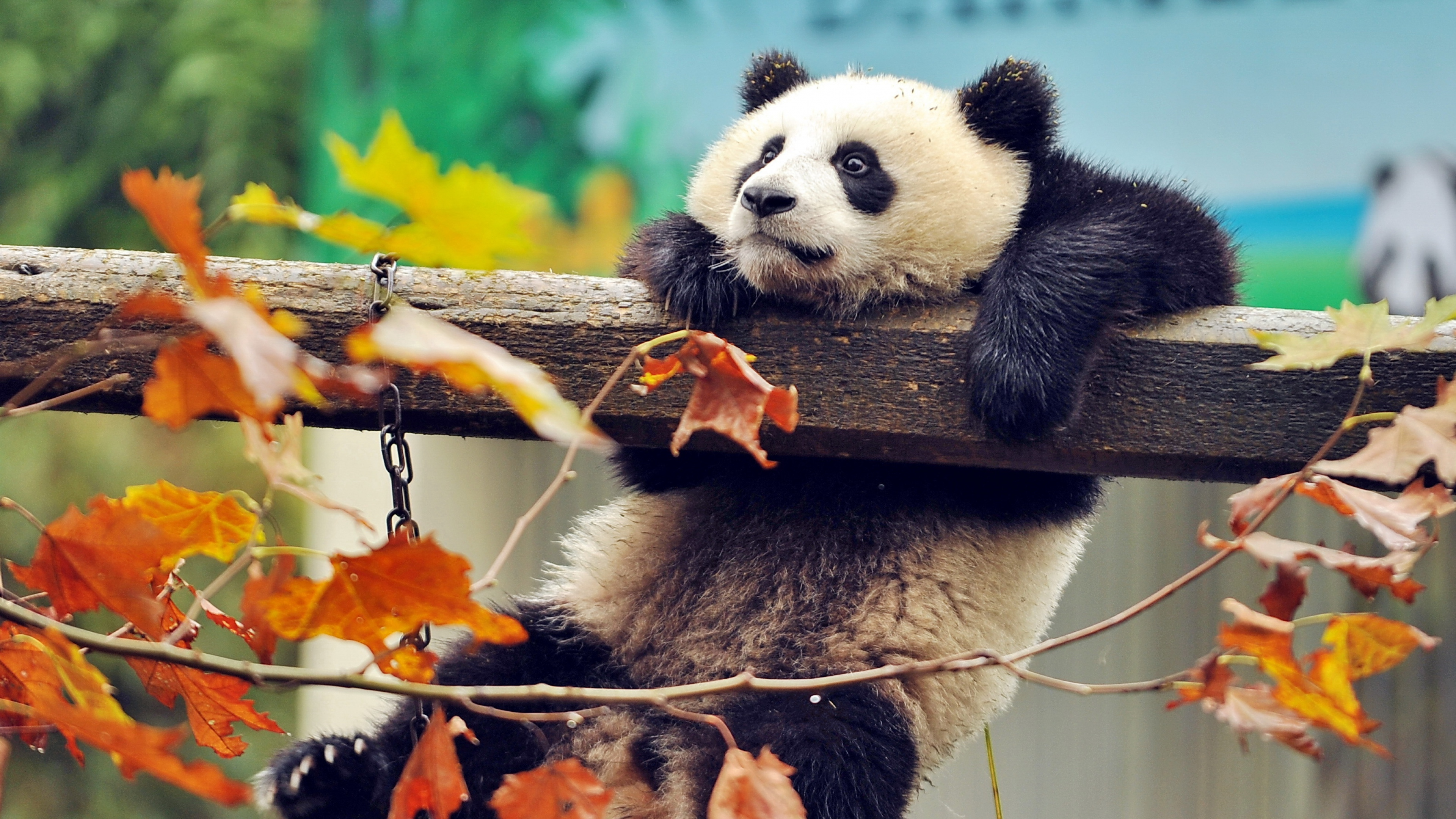 Cute Panda (2560x1600 Resolution)