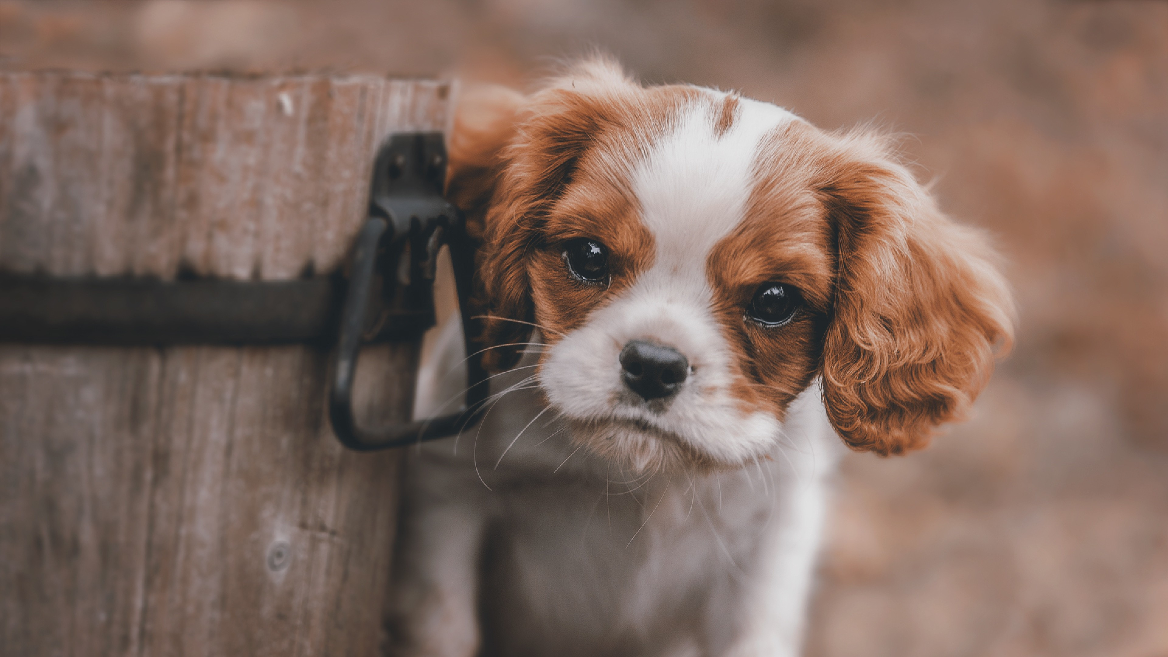 cute puppy, hd animals, 4k wallpapers, images, backgrounds, photos
