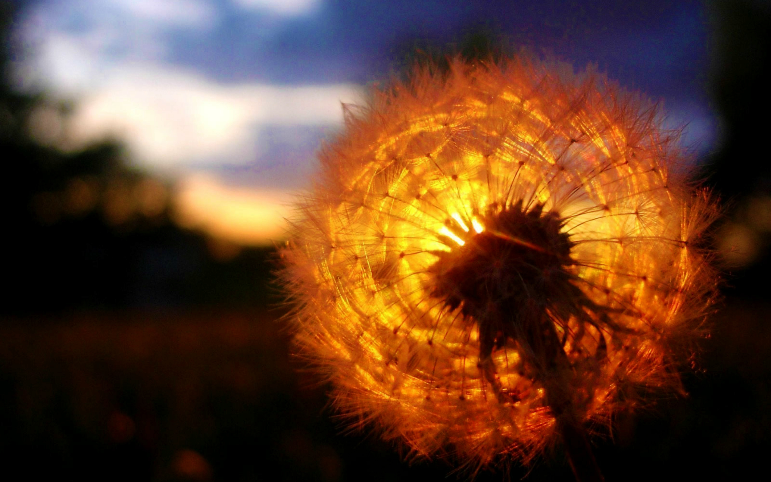 Dandelion amazing sunset hd nature 4k wallpapers images - Dandelion hd wallpapers 1080p ...