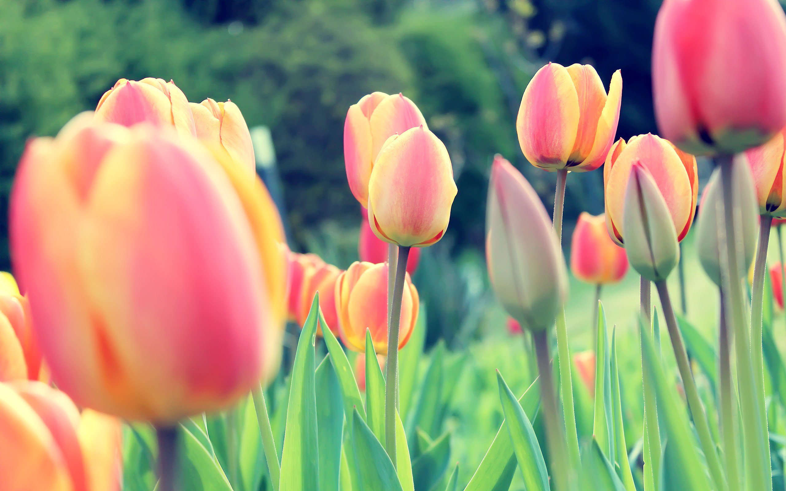 Easter Tulips HD Flowers 4k Wallpapers Images Backgrounds