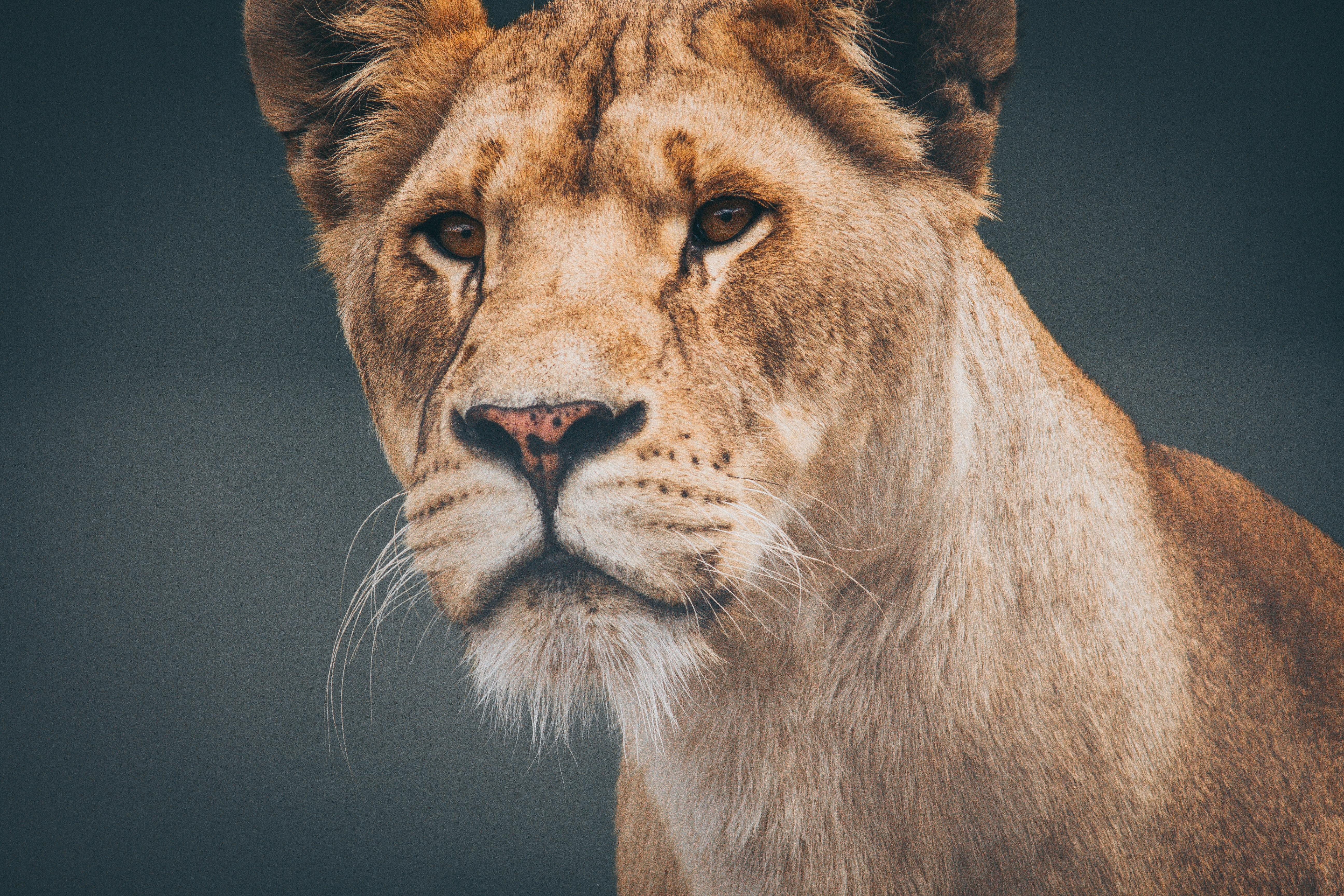 lioness 8k