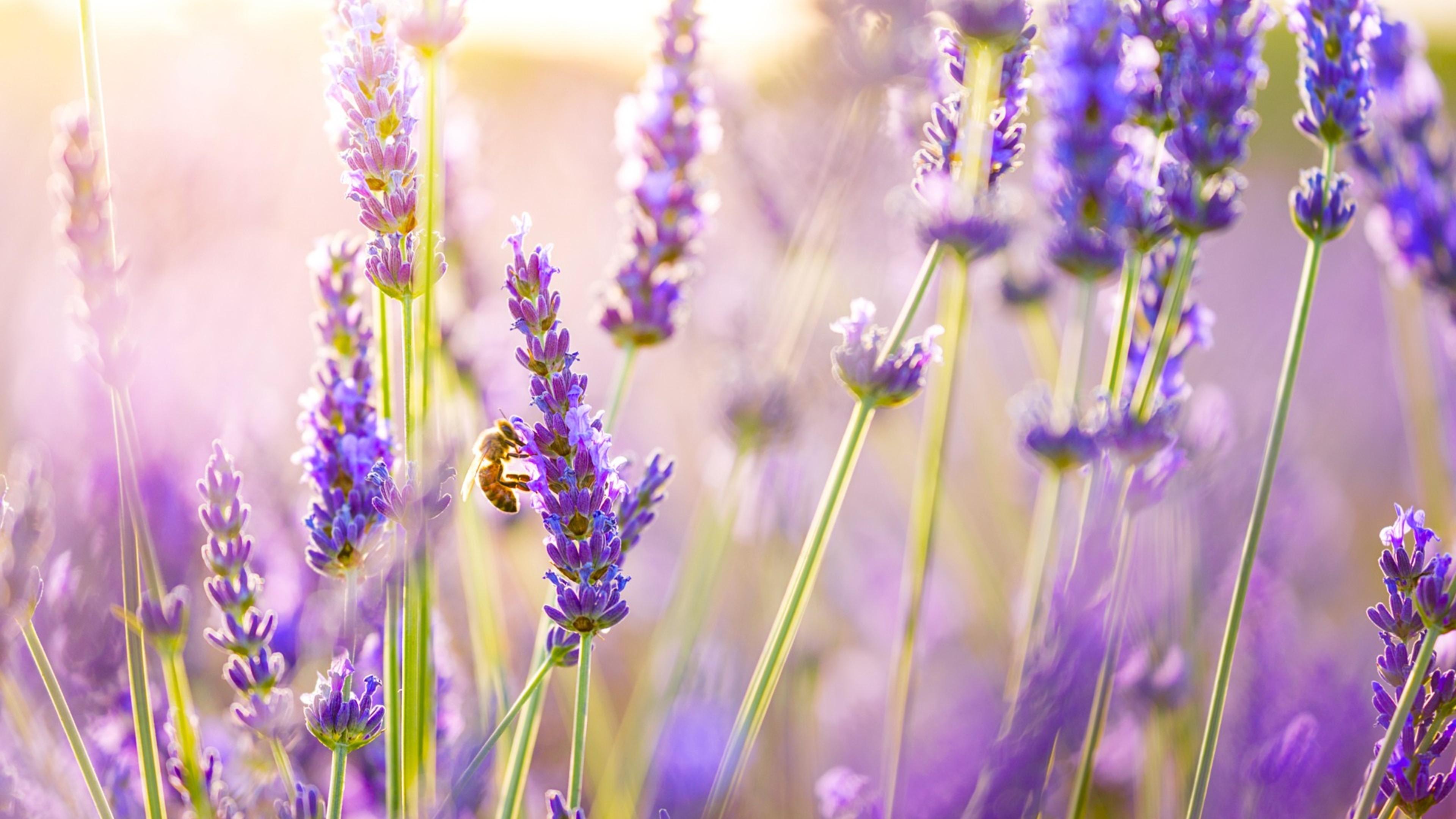 1336x768 Flowers Lavender Laptop Hd Hd 4k Wallpapers Images