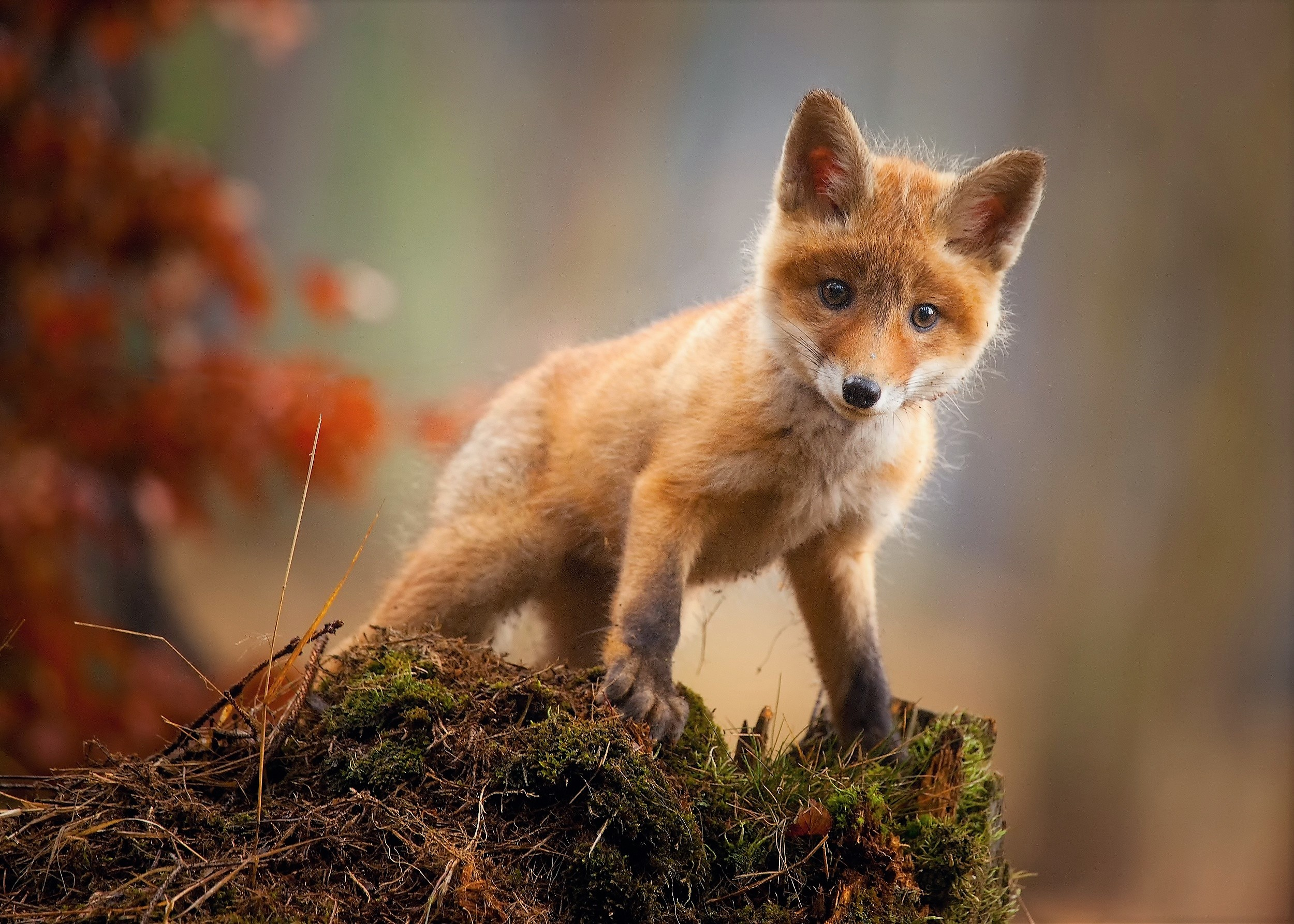 Fox Cub Baby Animal Cute Hd, HD Animals, 4k Wallpapers ...
