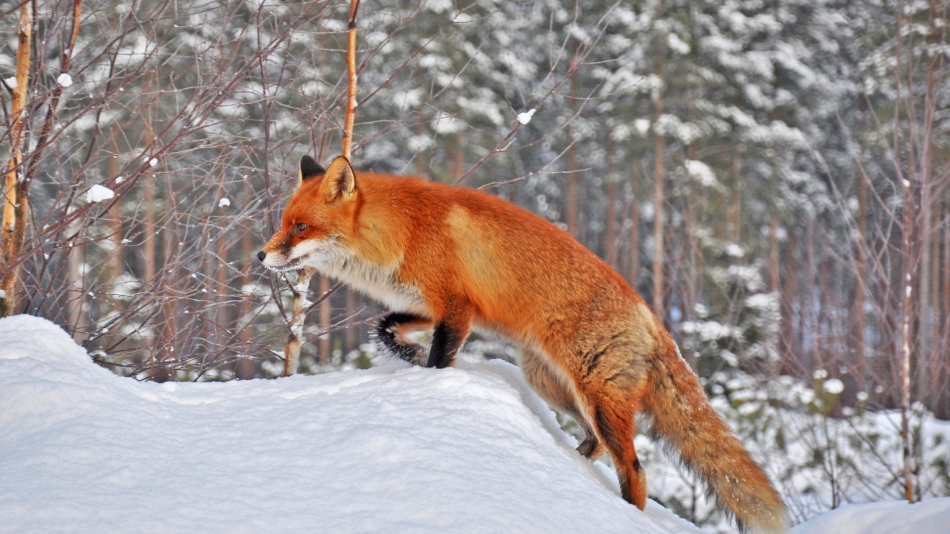 Fox In Snow, HD Animals, 4k Wallpapers, Images