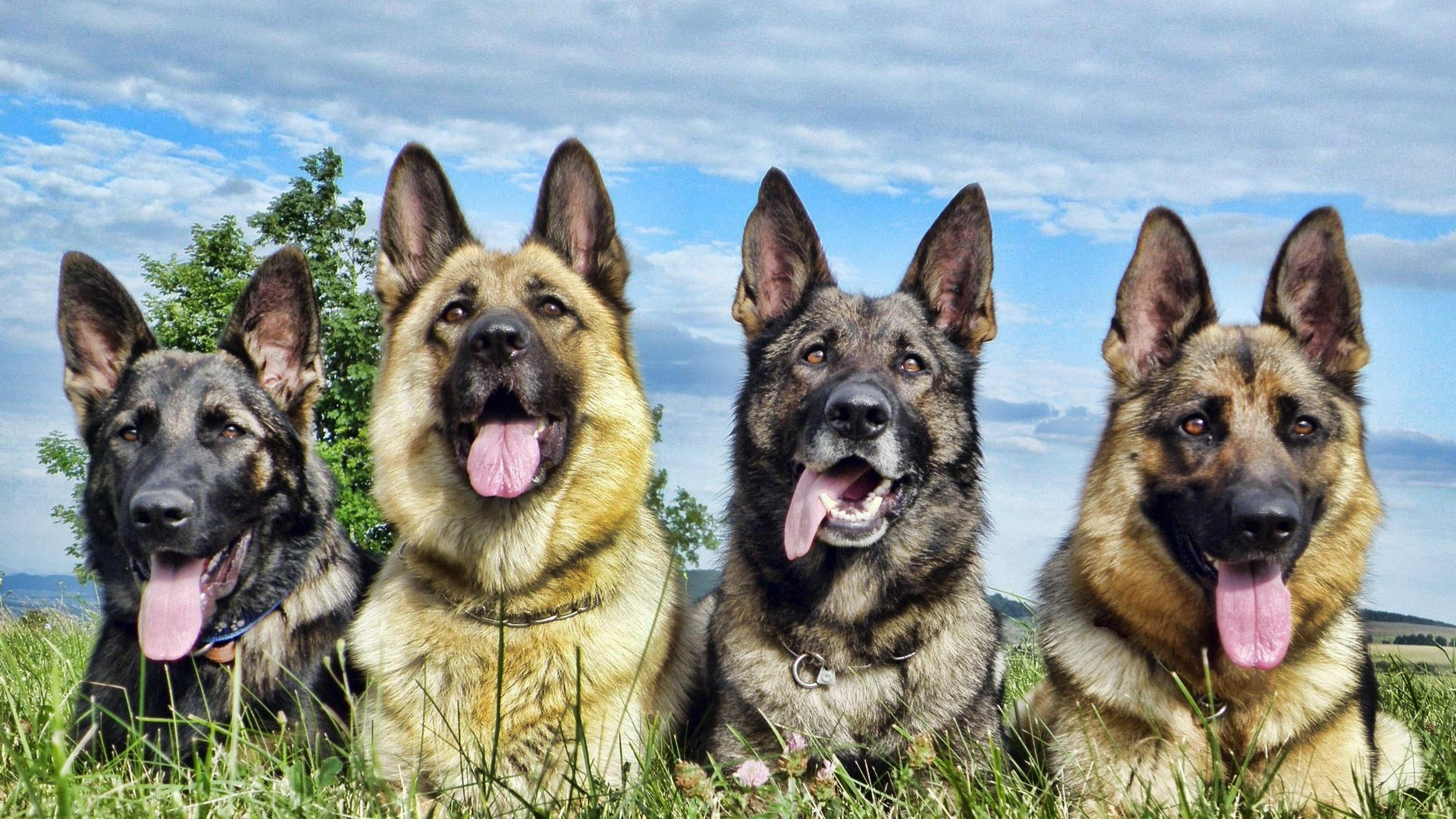 German Shepherd 4, HD Animals, 4k Wallpapers, Images ...
