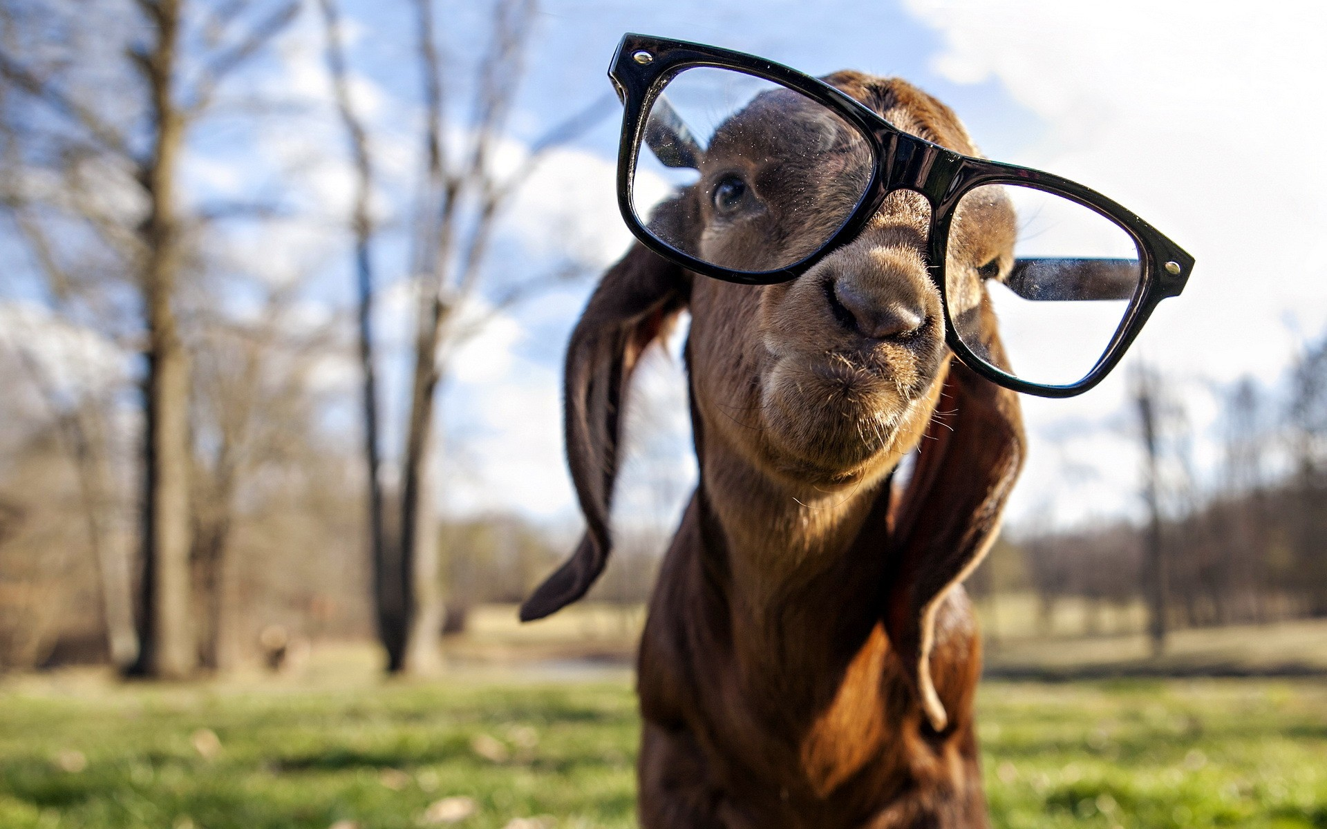 Goat got swag hd funny 4k wallpapers images backgrounds photos goat got swag sciox Gallery