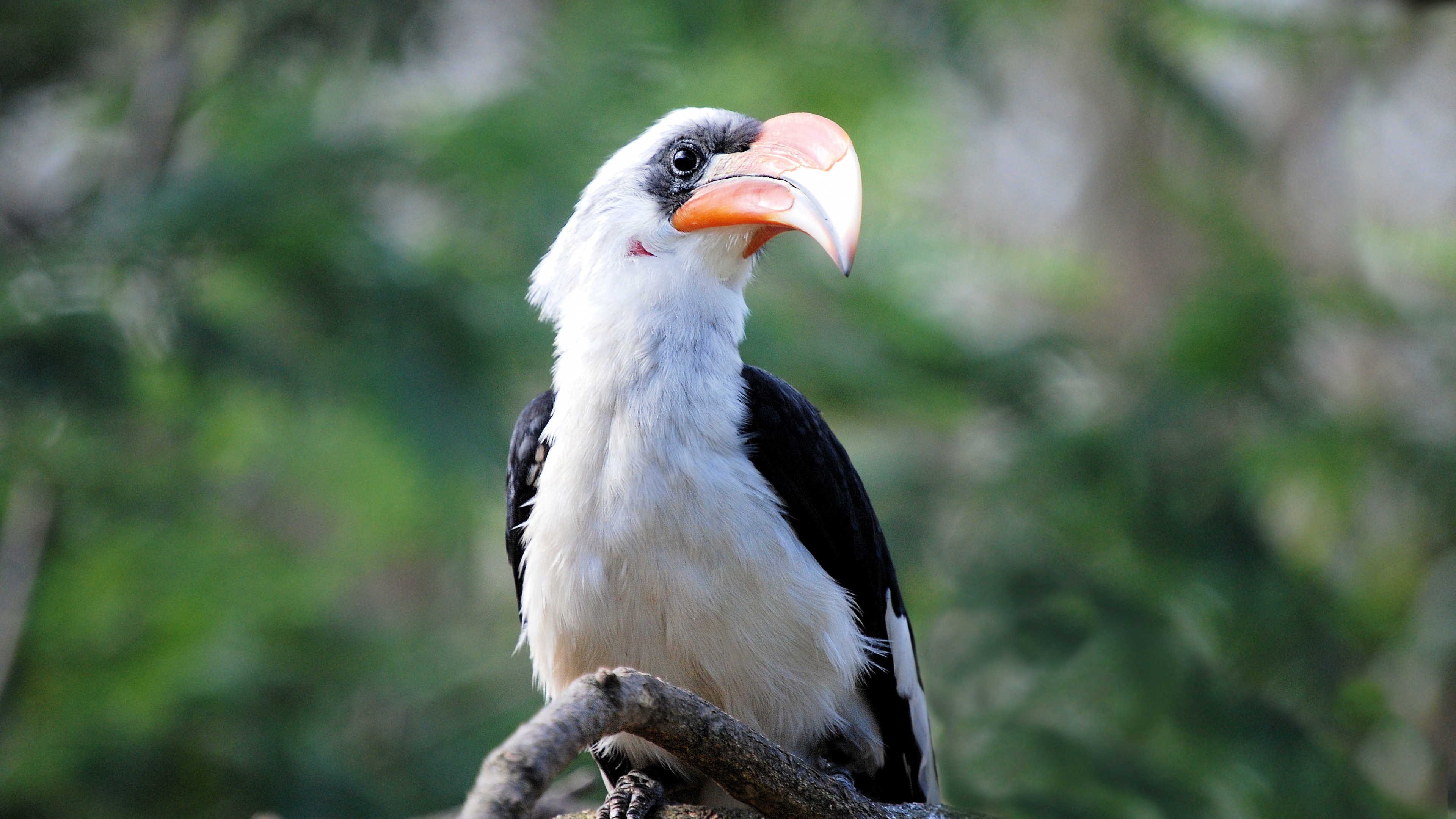 Great Hornbill Bird Beak