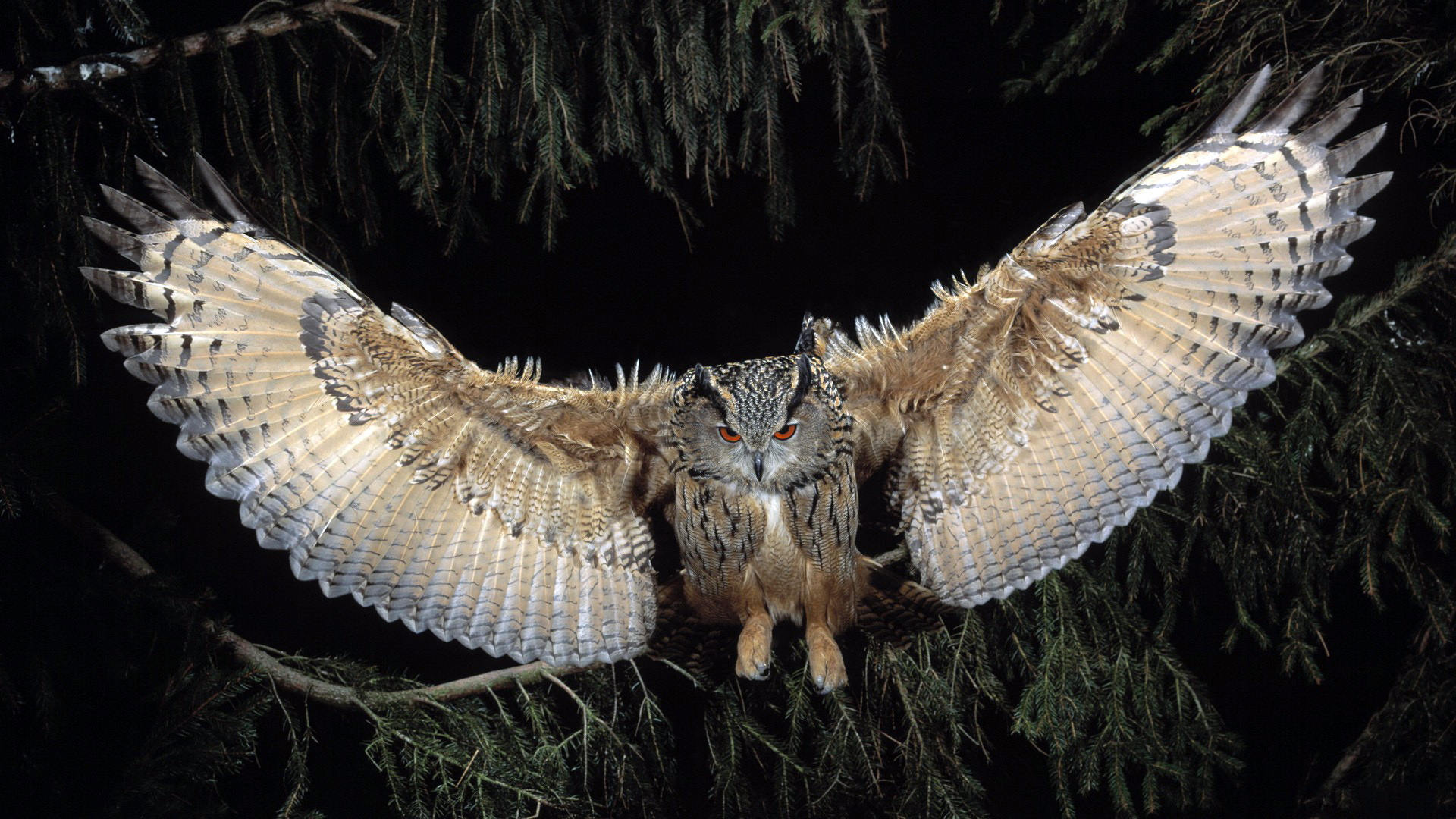 great horned owl, hd birds, 4k wallpapers, images, backgrounds