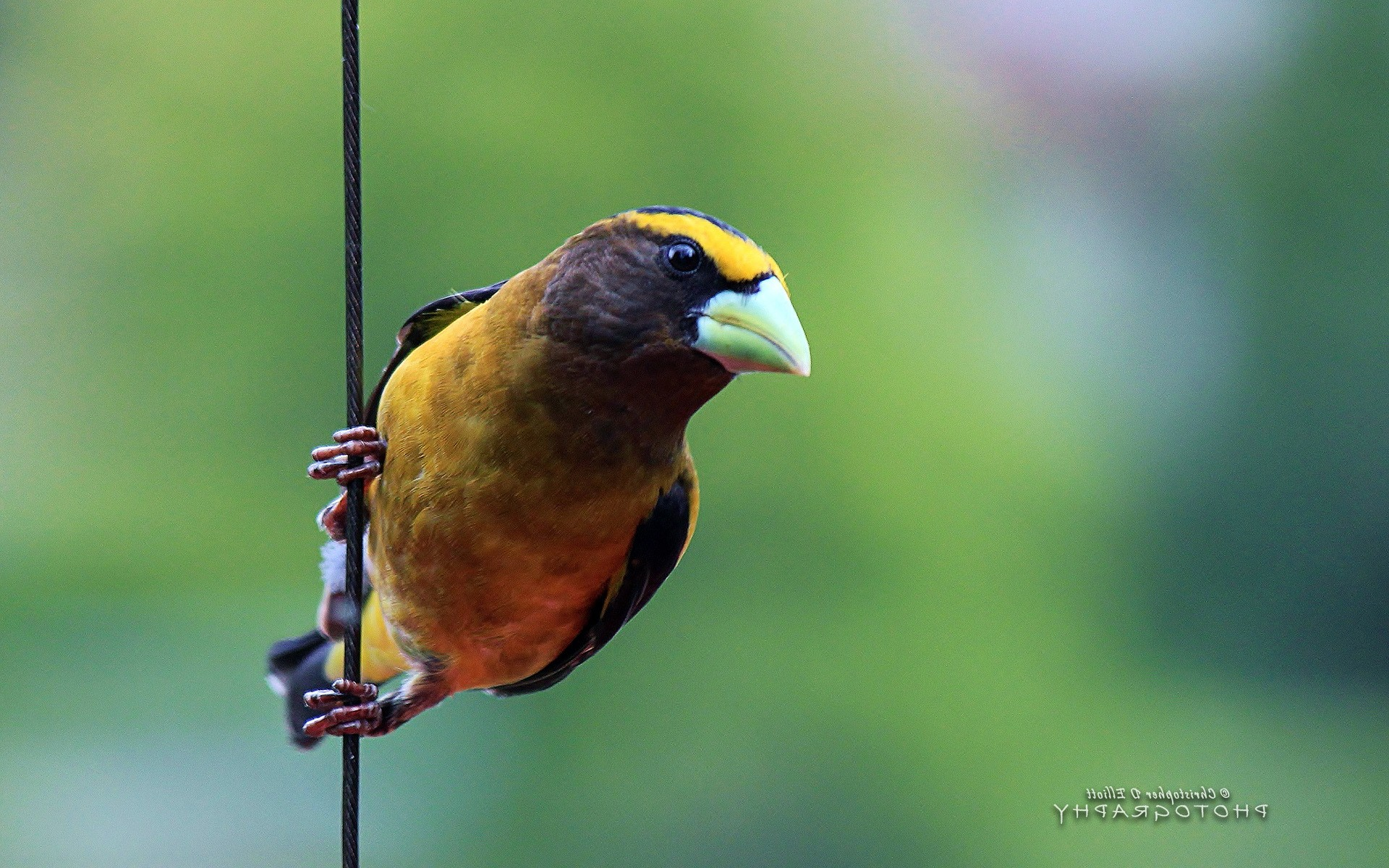 Grosbeak Bird