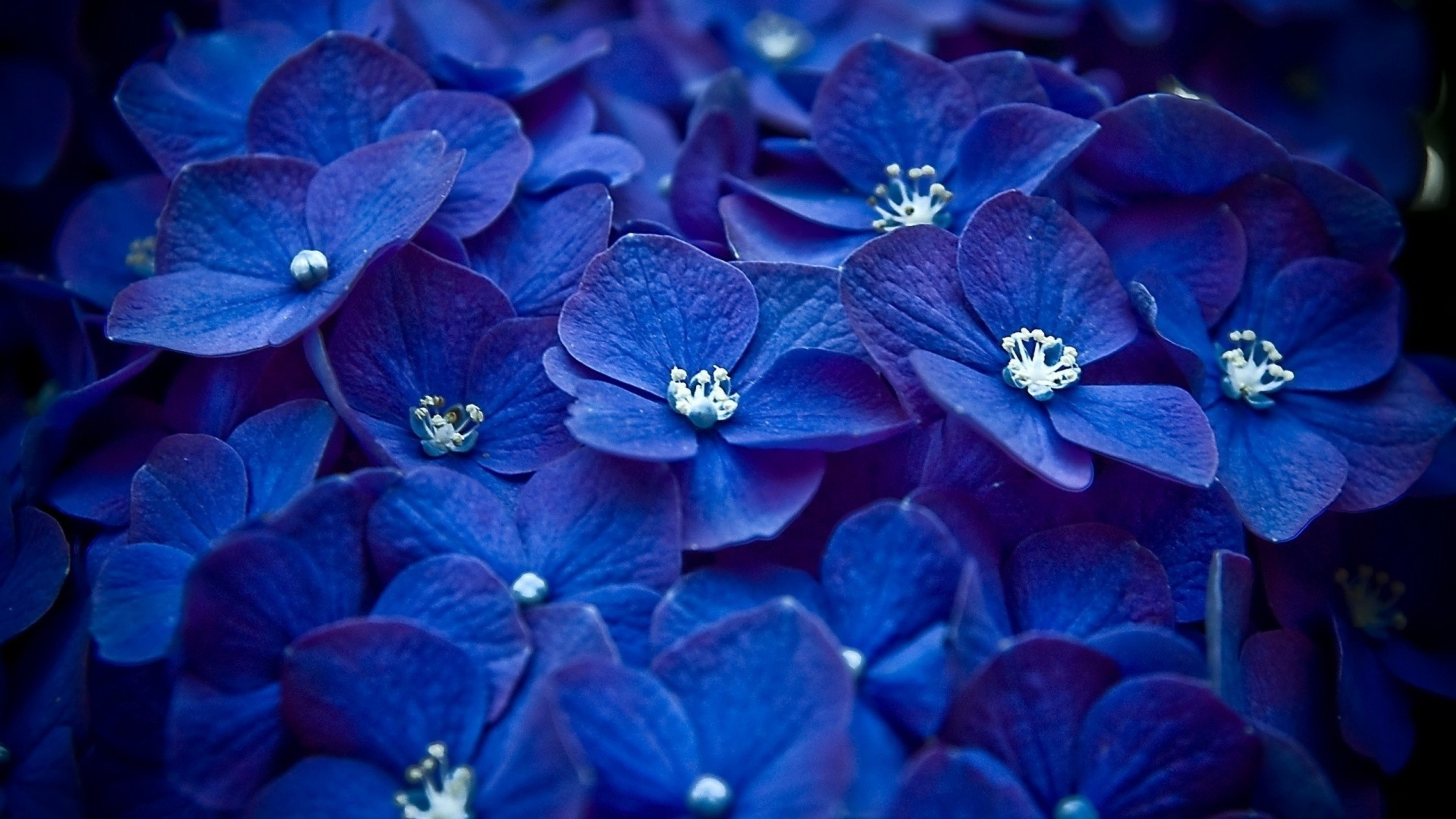 Hydrangea Blue Flower, HD Flowers, 4k Wallpapers, Images ...  Blue